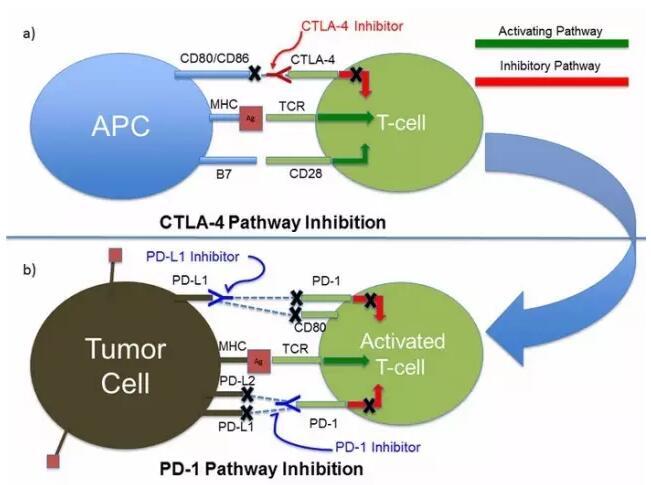 癌症免疫疗法大盘点4.jpg